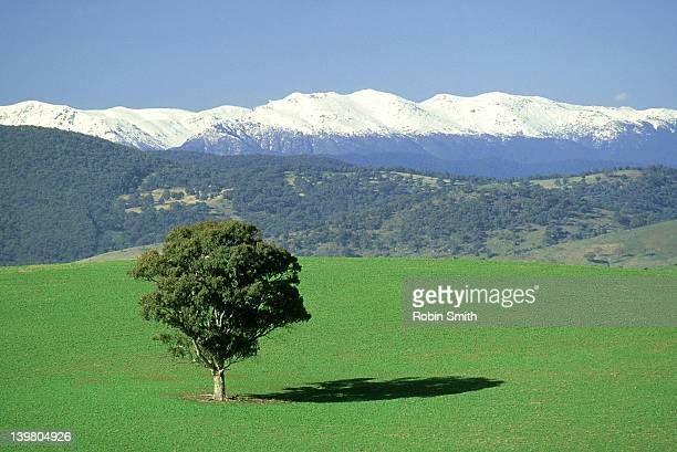 Tree in middle of field,Snowy Mountains in b/g,Tooma,NSW
