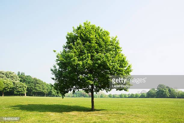 tree in park - single tree stock pictures, royalty-free photos & images