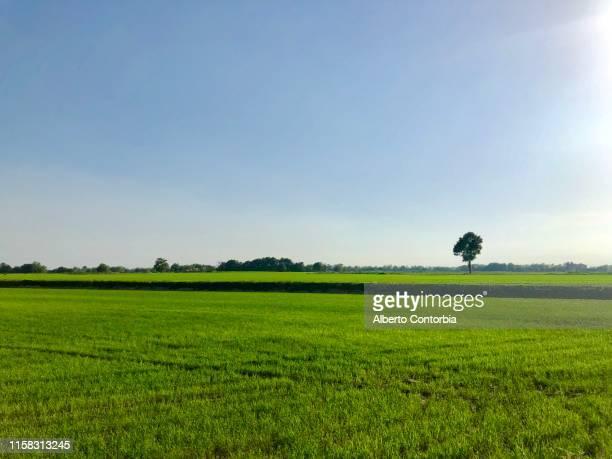 tree in summer in padana plain landscape between novara, milano and pavia province, italy - pianura foto e immagini stock