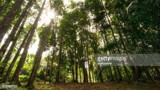 tree in the forest with sunlight - shaifulzamri foto e immagini stock