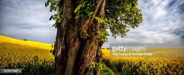 tree in the rape field. - stamm stock-fotos und bilder