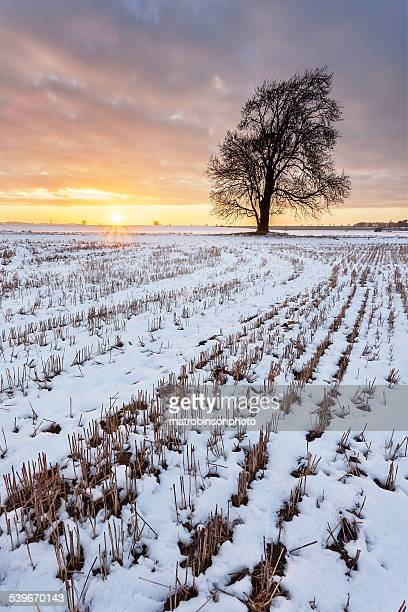 a tree in the snow at sunset - grantham lincolnshire stock photos and pictures