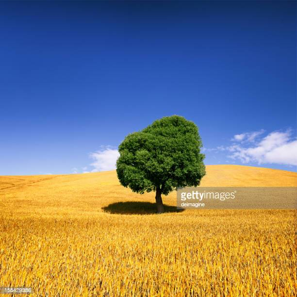 tree in weat field - val d'orcia stock pictures, royalty-free photos & images