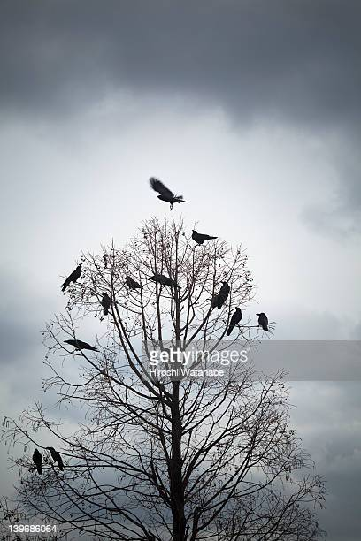 a tree in which many crows have rest - raven bird stock photos and pictures