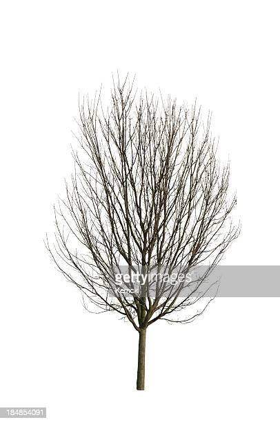 Tree in Winter - isolated on white