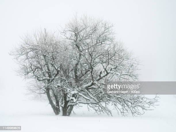 tree in winter - ヴィンターベルク ストックフォトと画像