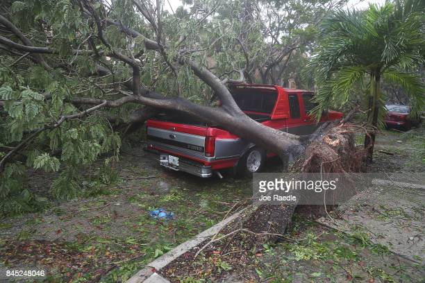 A tree is seen toppled onto a pickup truck after being knocked down by the high winds as Hurricane Irma arrives on September 10 2017 in Miami Florida...