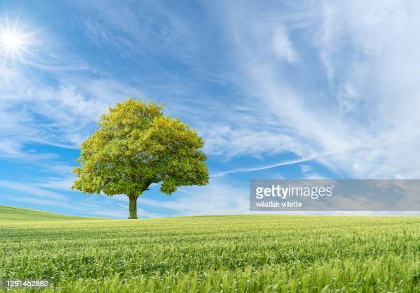 tree isolated on a green wheat field - apple tree stock pictures, royalty-free photos & images