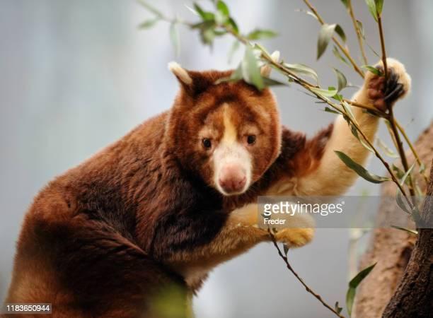 木のカンガルー - オーストラレーシア ストックフォトと画像
