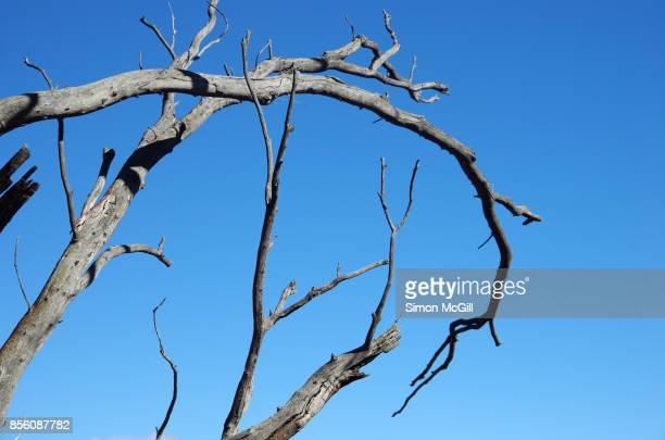 Tree killed by drought conditions in Canberra, Australian Capital Territory, Australia
