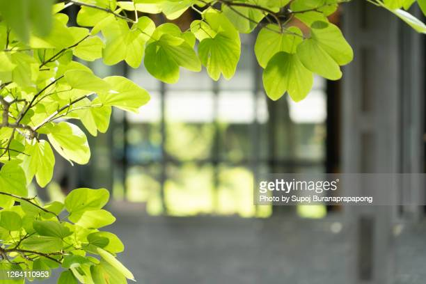 tree leaf in the garden of a house near the window affects to the sunlight in the morning. - photosynthesis stock pictures, royalty-free photos & images