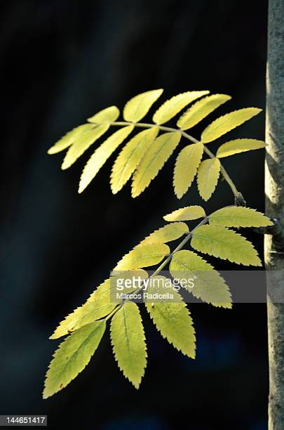 tree leaves, patagonia - radicella stock photos and pictures