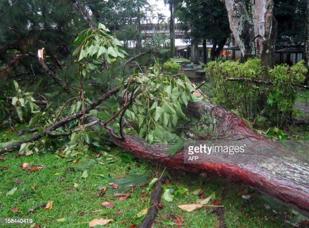 A tree lies on the ground after being blown down in strong winds the night before in Suva on December 17 2012 as a monster cyclone Cyclone Evan...