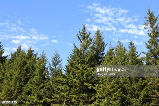 tree line of red spruce trees on a clear blue sky (picea rubens) - pine woodland stock pictures, royalty-free photos & images