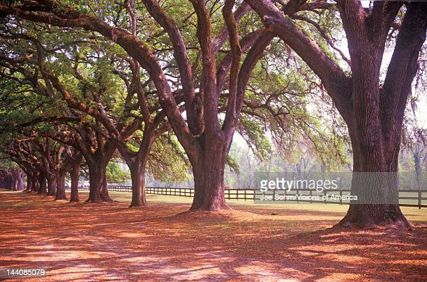 Tree lined road at Boone Hall Plantation Charleston SC