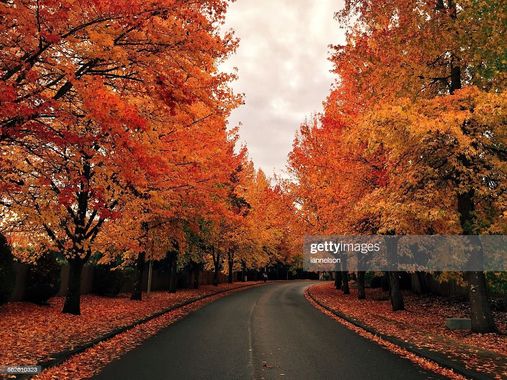 Tree lined road in autumn : Stock Photo