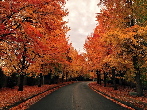 Tree lined road in autumn - gettyimageskorea
