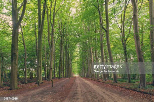 tree lined road in the forest - gelderland stock pictures, royalty-free photos & images