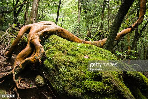 Tree living on the dead tree covered in moss