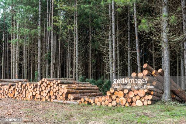 tree logs cut in deforestation, countryside of rio grande do sul state, brazil - tree farm stock pictures, royalty-free photos & images