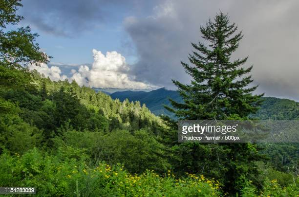 tree looks like christmas tree - pigeon forge stock pictures, royalty-free photos & images