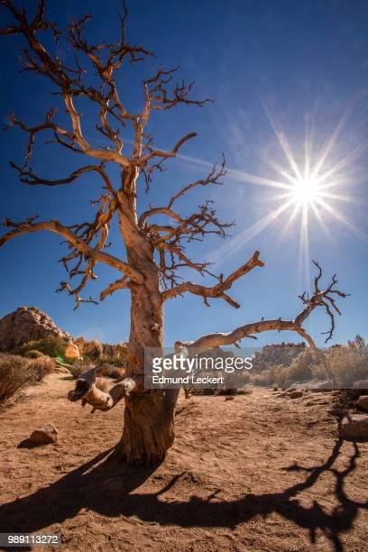 Tree, Meet Shadow, Joshua Tree National Park, California