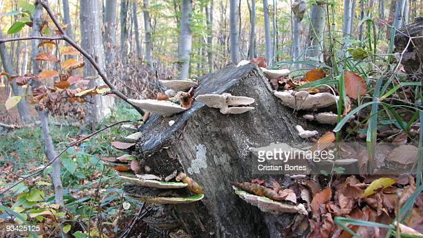 tree mushrooms in the forest - bortes stock pictures, royalty-free photos & images