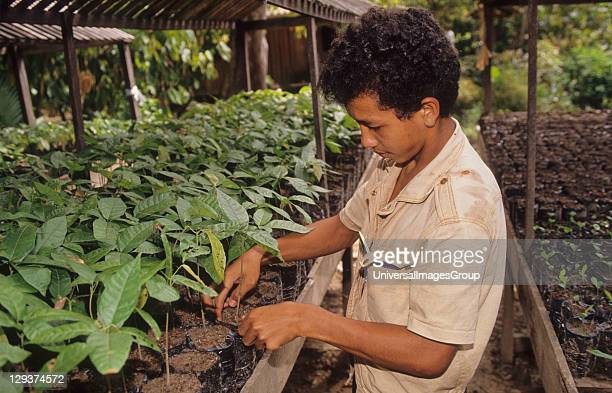 Tree Nursery Brazil Amazon Vicinity Pimenta Bueno Rondonia Mahogany Tree Seedlings Ready For Planting Out Very little reforestation is done in the...