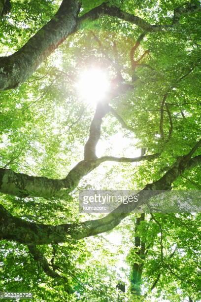 tree of fresh green - 新緑 ストックフォトと画像