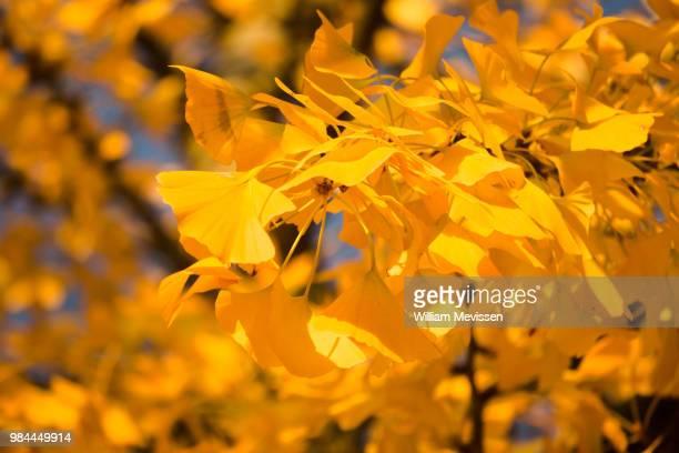 tree of gold - william mevissen stockfoto's en -beelden