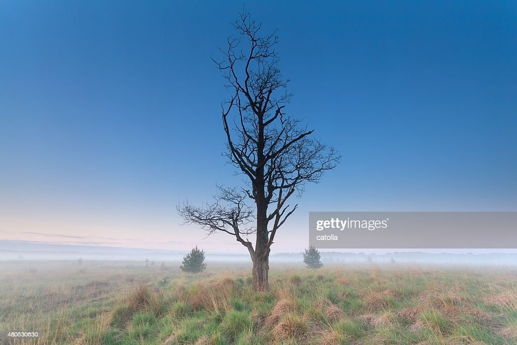 tree om misty morning meadow : Stock Photo