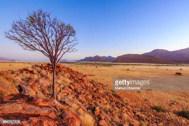 Tree on a stone hill, Marienfluss, Kunene region, Namibia
