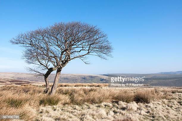 Tree on Crookstone Moor
