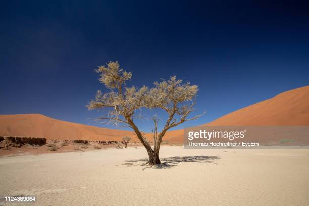 tree on desert against clear sky - single tree stock pictures, royalty-free photos & images
