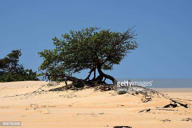 tree on desert - sem fim... valéria del cueto stock pictures, royalty-free photos & images