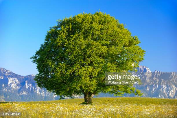 tree on field against clear sky - single tree stock pictures, royalty-free photos & images