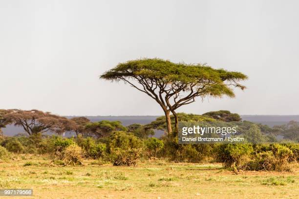 tree on field against clear sky - savannah stock pictures, royalty-free photos & images