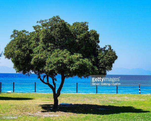 tree on field by sea against clear blue sky - colbing stock pictures, royalty-free photos & images