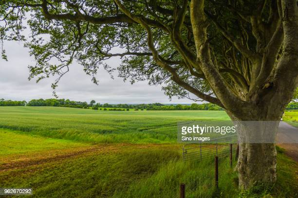 tree on green field, united kingdom - image stock pictures, royalty-free photos & images