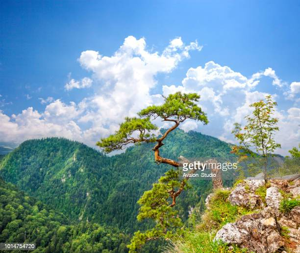 tree on mountain against blue sky. sokolica - bonsai tree stock pictures, royalty-free photos & images