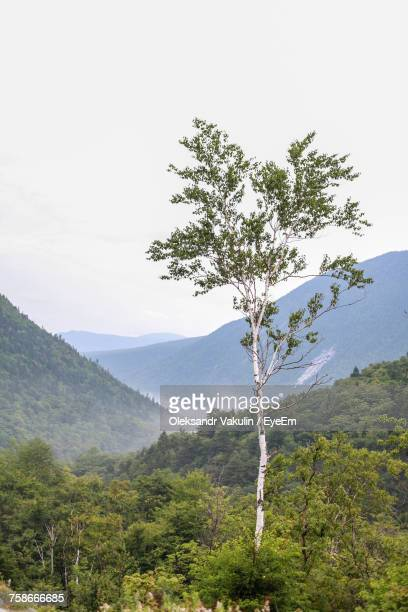 tree on mountain against clear sky - oleksandr vakulin stock pictures, royalty-free photos & images