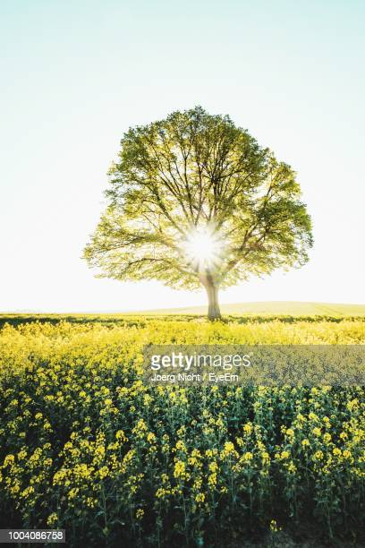 Tree On Oilseed Rape Field Against Clear Sky