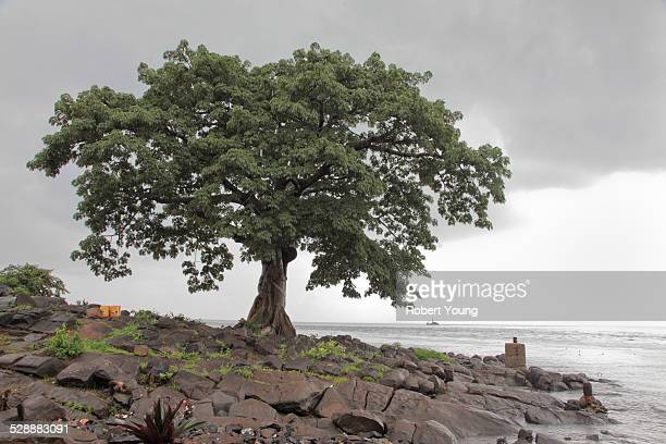 tree on rocky shorline - sierra leone stock pictures, royalty-free photos & images