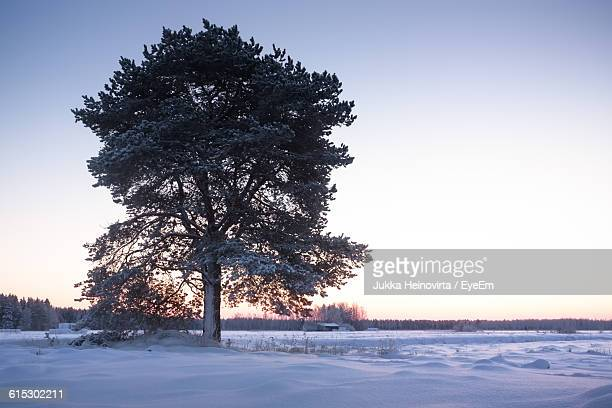 tree on snowy field against clear sky during winter - heinovirta stock pictures, royalty-free photos & images