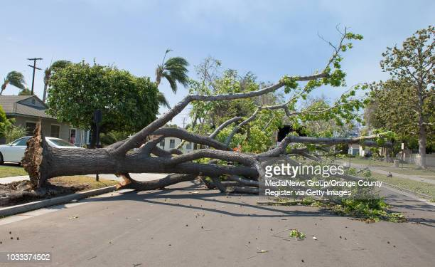 A tree on the 1500block of Towner Street in Santa Ana was blown down by the strong winds hitting Orange County Crews from the City of Santa Ana were...