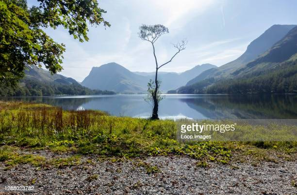 Tree on the lakeshore of Buttermere.