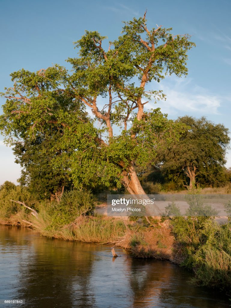 Tree on the Riverbank : Stock Photo