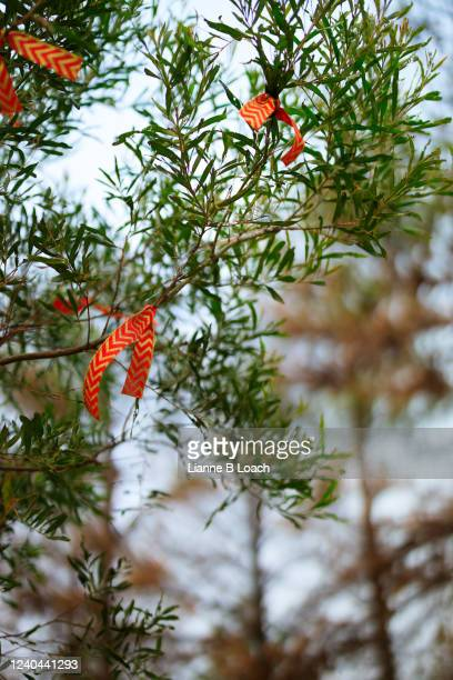 tree on the side of a road decorated with red bows. - lianne loach stock pictures, royalty-free photos & images