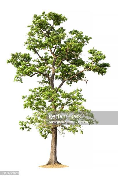 tree on white background - bonsai tree stock pictures, royalty-free photos & images