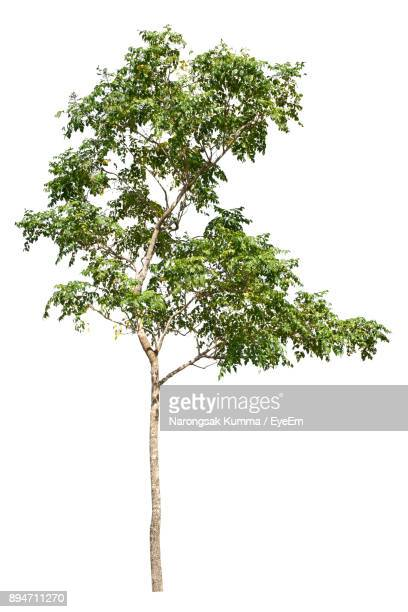 Tree Over White Background